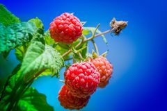 Fresh and ripe raspberry in a fruit garden. Macro shot of a fresh and ripe raspberry in a fruit garden on a sunny day on a green background Royalty Free Stock Photo