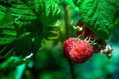 Fresh and ripe raspberry in a fruit garden. Macro shot of a fresh and ripe raspberry in a fruit garden on a sunny day on a green background Stock Photo