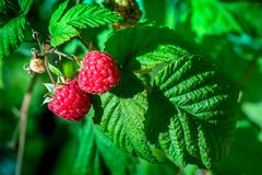 Fresh and ripe raspberry in a fruit garden. Macro shot of a fresh and ripe raspberry in a fruit garden on a sunny day on a green background Royalty Free Stock Images