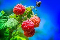 Fresh and ripe raspberry in a fruit garden. Macro shot of a fresh and ripe raspberry in a fruit garden on a sunny day on a green background Stock Photos