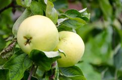 Free Fresh Ripe Red Apple Growing On A Apple Tree Royalty Free Stock Photo - 101366975