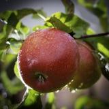 Fresh ripe red apples on apple-tree royalty free stock photos