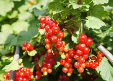 Fresh ripe red currant Stock Image