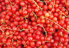 Fresh ripe red currant Stock Photography