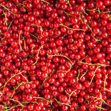 Fresh ripe red currants background Stock Images
