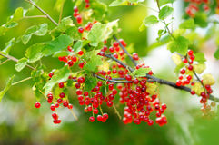 Fresh ripe red currants on the branch Stock Photo