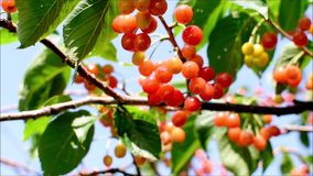 Fresh, ripe, red, delicious cherries on a cherry tree. Cherry tree branches and leaves sway from the blowing wind. Close up video. A cherry tree bearing red and stock video
