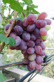 Fresh ripe red grape. In vineyard autumn Royalty Free Stock Photography