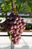 Fresh ripe red grape. In vineyard autumn Stock Photography
