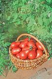 Fresh ripe red pear tomatoes in a basket on the garden. Closeup of basket with fresh red pear tomatoes. Freshly harvested tomatoes in basket. Red tomatoes in Royalty Free Stock Photo