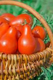 Fresh ripe red pear tomatoes in a basket on the garden. Closeup of basket with fresh red pear tomatoes. Freshly harvested tomatoes in basket. Red tomatoes in Royalty Free Stock Image
