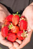 Many strawberries on hand, focus on strawberry. Fresh ripe red strawberries in dirty male hands, focus on strawberry Stock Image