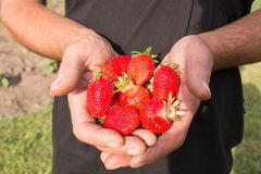 Many strawberries on hand, focus on strawberry. Fresh ripe red strawberries in dirty male hands, focus on strawberry Stock Photo