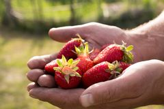 Many strawberries on hand, focus on strawberry. Fresh ripe red strawberries in dirty male hands, focus on strawberry Stock Photography