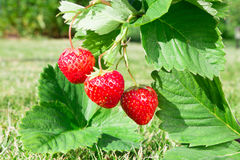 Fresh ripe red strawberry. Bush grow in the garden. stock image