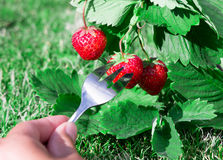 Fresh ripe red strawberry and a Fork with a berry. Bush grow in the garden. top quality, organic food concept Stock Photos