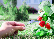 Fresh ripe red strawberry and a Fork with a berry. Bush grow in the garden. top quality, organic food concept Stock Photo