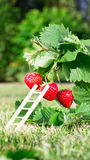 Fresh ripe red strawberry and ladder leaning against a berry. Bush grow in the garden. top quality, organic food concept Royalty Free Stock Images