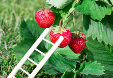 Fresh ripe red strawberry and ladder leaning against a berry. Bush grow in the garden. top quality, organic food concept Royalty Free Stock Image