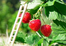 Fresh ripe red strawberry and ladder leaning against a berry. Bush grow in the garden. top quality, organic food concept Stock Photos