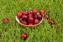 Fresh ripe red sweet cherries in a plate on green grass. Sweet cherry fruits in a garden in summertime. Raindrops. Macro stock photo