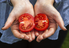 Fresh ripe red tomato cut in half, in gardener's hands. Royalty Free Stock Photos