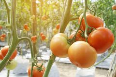 Ripe Red Tomatoes Hanging  on the Vine in Organic Farm. Fresh Ripe Red Tomatoes Hanging  on the Vine in Organic Farm stock image