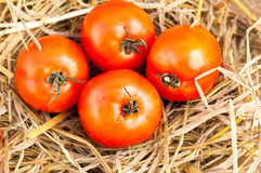 Fresh ripe red tomatoes on a straw Royalty Free Stock Photography