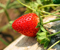Fresh ripe strawberries. In the garden Stock Photography