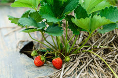 Fresh ripe strawberries from plantation on the farm Royalty Free Stock Photography