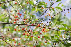 Fresh ripe summer cherries. Red berries on tree branch. Fresh ripe sweet summer cherries. Red berries on tree branch stock images