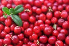 Fresh ripe sweet juicy lingonberries cowberries. With leaves background, selective focus royalty free stock image