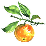 Fresh ripe tangerine, mandarin, on a branch isolated, watercolor illustration. One fresh ripe tangerine, mandarin, with leaf on a branch isolated, watercolor Stock Photo