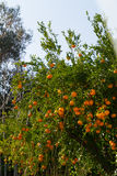 Fresh ripe tangerines on the trees. Stock Photography