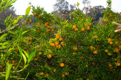 Fresh ripe tangerines on the trees. Stock Images