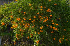 Fresh ripe tangerines on the trees. Royalty Free Stock Photo
