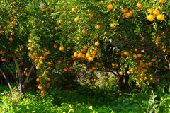 Fresh ripe tangerines on the trees. Stock Photos