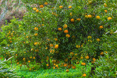 Fresh ripe  tangerines on the trees. Royalty Free Stock Image