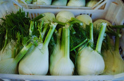 Fresh ripe white fennel in boxes in whole sale market Royalty Free Stock Image