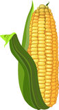 Fresh ripe yellow corn Stock Photos