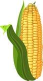 Fresh ripe yellow corn stock photos