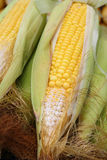 Fresh ripe yellow corn cobs closeup Royalty Free Stock Photo