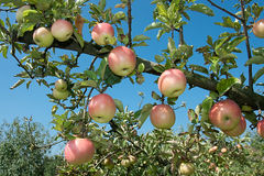 Fresh ripen apples on branch tree Stock Photos
