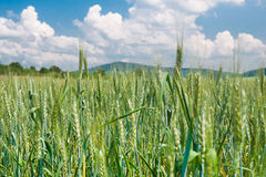Fresh and ripened barley Royalty Free Stock Photos