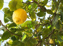 Fresh ripening lemons and flowers Royalty Free Stock Photos