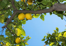 Fresh ripening lemons and flowers Stock Photography