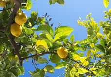Fresh ripening lemons and flowers Stock Image