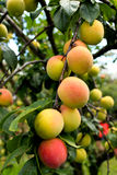 Fresh ripening peaches on tree in fruit orchard Royalty Free Stock Photography