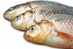 Fresh river carp Royalty Free Stock Image