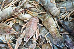 River crayfish in a basket close-up. stock image